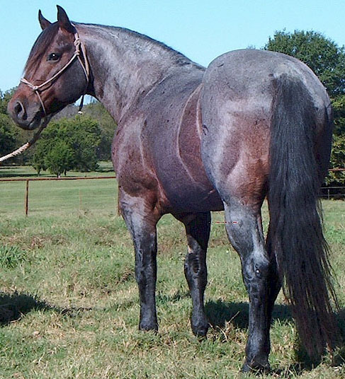 Deckert Quarter Horses--Stallions--Red Roan Raider